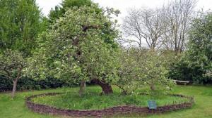 Pohon apel inspirasi Isaac Newton menemukan teori gravitasi. (Flick/Dun.can)